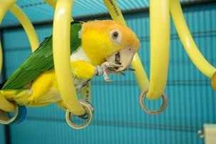 Large Curly Q Adventure Coil - Bird Toy, Parrot Perch, Cage Accessory